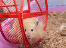 Hamster im Rad lizenzfreie stockfotos