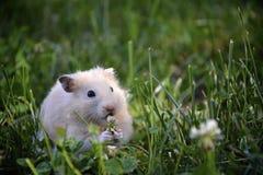 Hamster im wilden Stockfotos