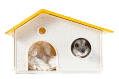 Hamster inside House Stock Photography