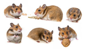 Hamster isolated collection Stock Photos