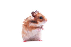 Hamster isolated on white Royalty Free Stock Photos