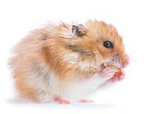Hamster eating cookies Stock Photo