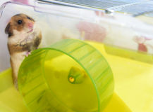 Hamster jouant dans sa cage Photo stock