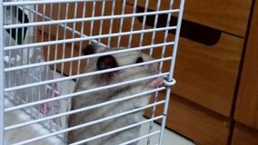 A hamster kept in a cage and fed to the hamster