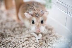 Hamster in kooi 2 royalty-vrije stock afbeelding