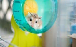 Hamster in kooi 2 Stock Afbeelding