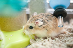 Hamster in kooi Royalty-vrije Stock Foto