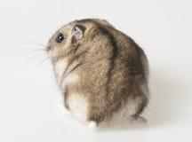 Hamster - lado traseiro Imagem de Stock Royalty Free