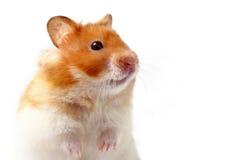 hamster lara Arkivfoton