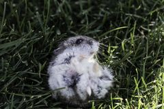 Hamster in a lawn close up Royalty Free Stock Image