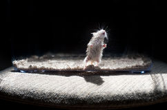 Hamster lighted Royalty Free Stock Image