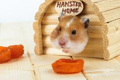 The hamster looks out of its house. The hamster looks out of its wooden house stock image