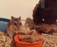Hamster mangeant de la nourriture Images stock