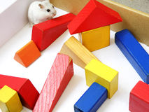 Hamster in maze. Gotta find my way out - a white dwarf hamster feeling lost in a bright colored maze made of children wooden building blocks.  Horizontal color Royalty Free Stock Photo