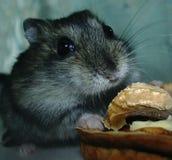 Hamster med en mutter Royaltyfri Bild