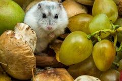 Hamster met druiven en paddestoelen Royalty-vrije Stock Foto's