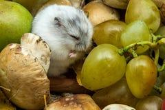 Hamster met druiven en paddestoelen Stock Fotografie