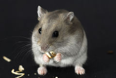 Hamster mignon Image libre de droits