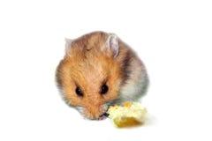 Hamster mignon Photographie stock libre de droits