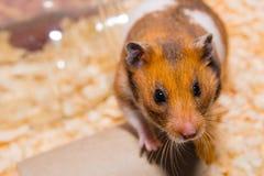 hamster libre po grosse queue migets