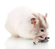 Hamster mignon mangeant des graines de tournesol Photo libre de droits