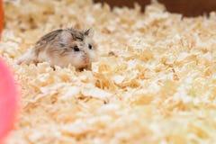 Hamster mijn speelplaats Royalty-vrije Stock Foto
