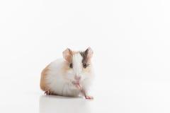 Hamster mit angehobener Auflage auf weißem Hintergrund Lizenzfreie Stockbilder