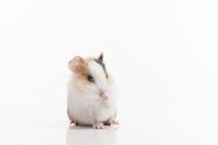 Hamster mit angehobener Auflage auf weißem Hintergrund Stockfotografie
