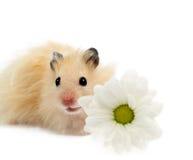 Hamster mit Blume Stockbild