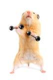 Hamster mit Stab lizenzfreie stockfotos