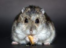 Hamster, Mouse, Muroidea, Fauna Royalty Free Stock Image