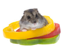 Hamster nain photographie stock libre de droits