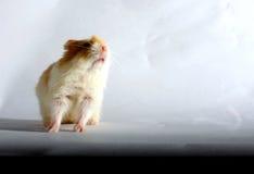 Hamster nain Image stock