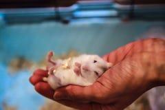 Hamster nain blanc d'hiver exotique femelle tricolore mignon de bébé se situant confortablement dans la main de paume de propriét photographie stock