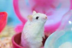 Hamster nain blanc d'hiver exotique mignon tenant deux jambes priant pour l'aliment pour animaux familiers avec le visage innocen photos stock