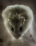 Hamster nain russe Images stock