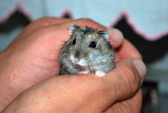 Hamster nas mãos fotos de stock royalty free