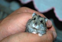 Hamster nas mãos Imagens de Stock Royalty Free