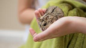 Hamster-Niedlichkeit in childs Hände lizenzfreies stockfoto
