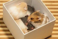 Hamster novo na caixa. Imagens de Stock