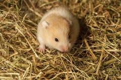 Hamster novo no feno. Imagens de Stock