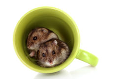 Hamster novos no copo verde isolado Imagens de Stock