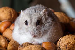 Hamster and nuts Stock Photos