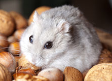Hamster and nuts Stock Photography