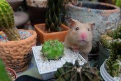 Hamster och kaktus Fotografering för Bildbyråer