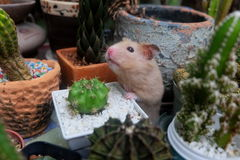 Hamster och kaktus Royaltyfri Foto