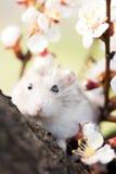 Hamster op een boom onder bloeiende takken Stock Foto's