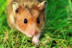 Hamster op het gras Stock Fotografie