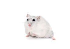 Hamster op wit Royalty-vrije Stock Afbeelding