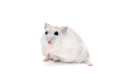 Hamster på vit Royaltyfri Bild